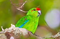 Norfolk Parakeet (Cyanoramphus cookii)